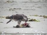 Peregrine_Falcon_eating_bird_on_beach